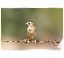 Pipit Poster