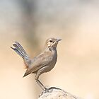 Indian Femele Robin by upadhyay