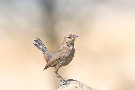 Indian Femele Robin by upadhyay