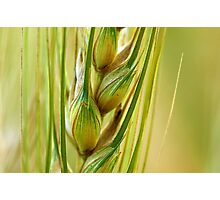 Wheat Crop Close Up Photographic Print