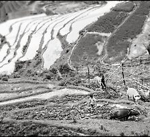 'Salt & Pepper Water Buffalos: Rice Paddies.' Sapa, Vietnam by RyanEdwardson