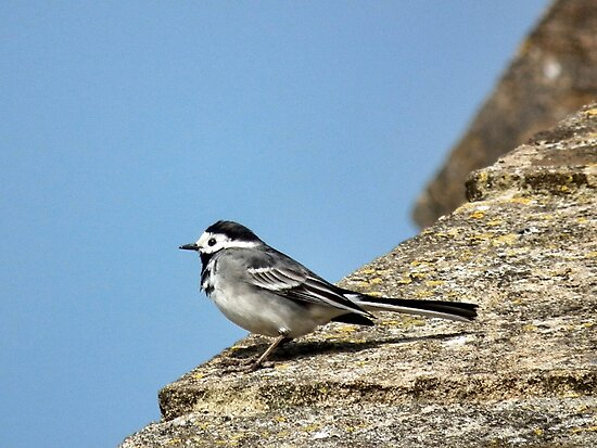 Pied Wagtail by lynn carter