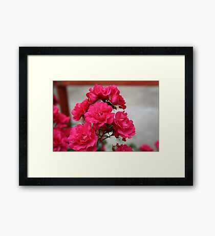 Pretty Pink Roses Framed Print