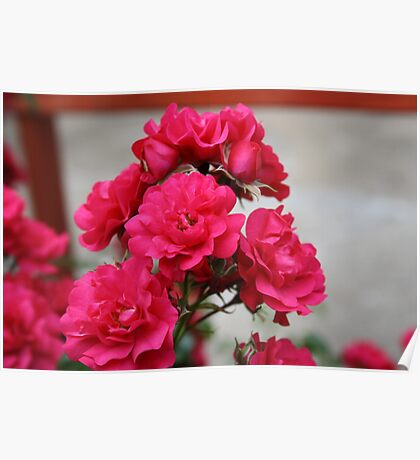 Pretty Pink Roses Poster