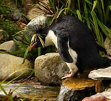 Rockhopper getting ready to hop those rocks! by Mark Hughes