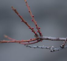Buds by Lynn Wiles