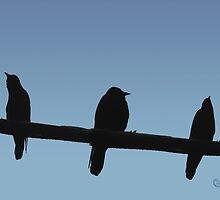 Trio of Birds on a Wire by BCallahan