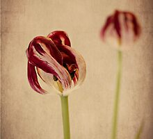 Old Masters - Tulip by Jayne Le Mee