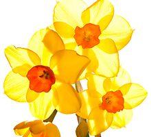 Tiny Daffodills by Christine Hosey