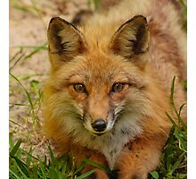 American Red Fox Photographic Print
