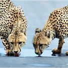UP CLOSE WITH CHEETAH'S - CHEETAH – Acinonyx jabatus – Die Jagluiperd by Magriet Meintjes