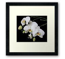White Orchid Feb 2011 Framed Print