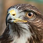 Common Buzzard (Buteo buteo) by Steve  Liptrot