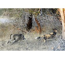 Baboon taking the offensive - Kruger National Park Photographic Print