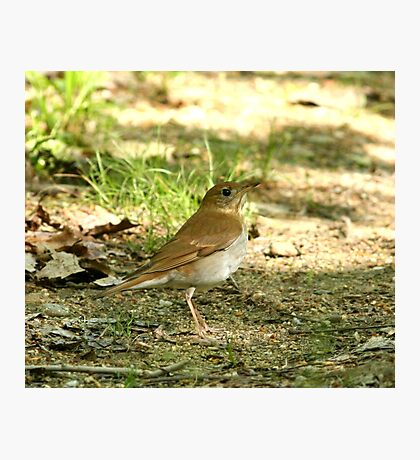 Veery in the woods Photographic Print