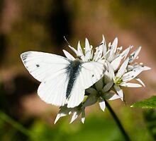 Animal, Butterfly, Green veined White, (Pieris napi), feeding by Hugh McKean