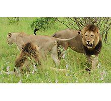 Restless Lions -  Kruger National Park Photographic Print