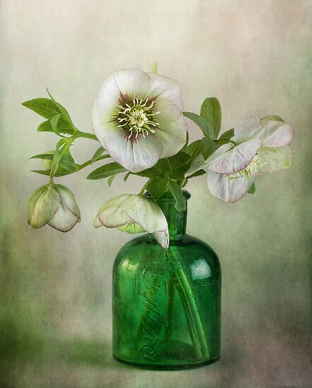 Lenten Rose by Mandy Disher