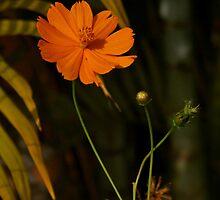 fleur orange by Sonia de Macedo-Stewart