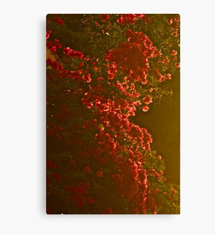 Sunrise   burning -  Bougainvillea . Nature Wonders  Crete Greece  by Brown Sugar . Views (432) . Thanks ! Canvas Print