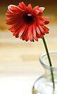 Gerbara Daisy by T.J. Martin