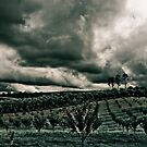 Vineyard Drama by Jane Keats