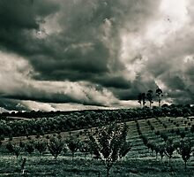 Vineyard Drama by Jane Keats