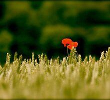 The Last Poppy by mottyg
