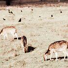 Deer in a field by jimclark