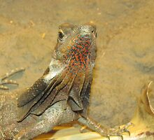 Frilled neck lizard, Australia by Martina Nicolls
