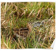 Common Snipe Poster