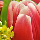 Tulip by MaryLynn