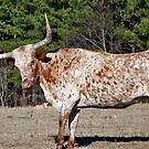 Strike A Pose (For Kay) - Longhorn Style by Betty Northcutt