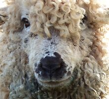 Woolly head by DEB VINCENT