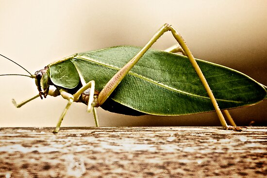 Leaf Insect by Stevewhite