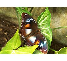 Butterfly on a Syngonium podophyllum Photographic Print