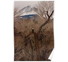 Eagle in a cottonwood tree Poster
