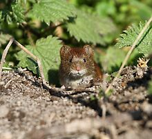 Bank vole by JanSmithPics
