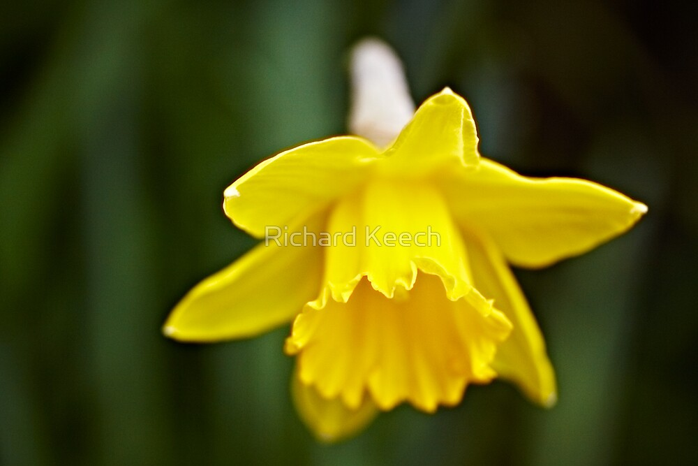 The first bulb of Spring by Richard Keech