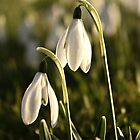 Snowdrops  #1 by Julesrules