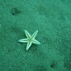 starfish by salagas