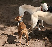 Galgo twins by homesick