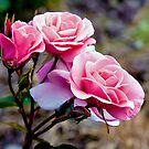 Pink roses by PhotosByHealy
