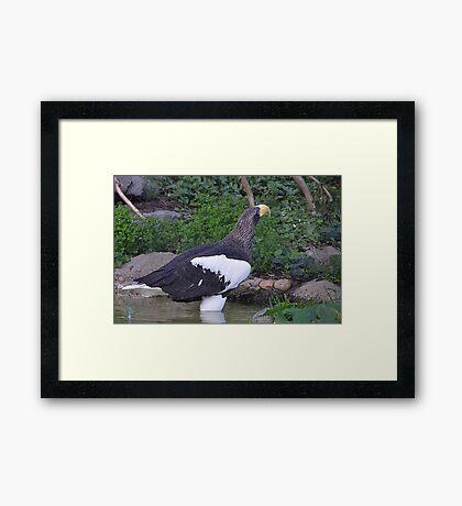 Sea Eagle 1 Framed Print