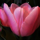 PETALS OF A TULIP by gracestout2007