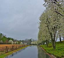 Bradford Pear Trees in the Rain by Gordon Taylor