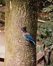 Steller's Jay in Muir Woods by Gene Walls