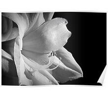 White Amarillis Poster