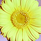 Yellow Gerbera - UK553/13 - www.lizgarnett.com by Liz Garnett