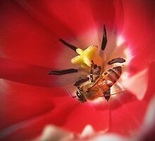 Red Tulip with Bee  by Savannah Gibbs